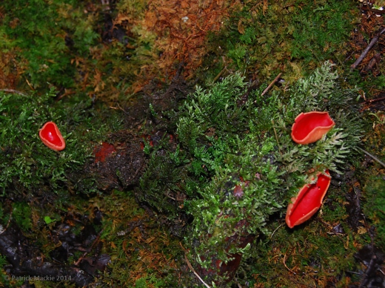 Red Elfcups